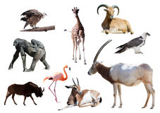 Oryx Scimitar  and other African animals Stock Photo