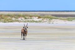 Oryx seul à la casserole de sel d'Etosha image libre de droits