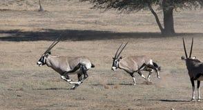 Oryx skirmishing in the Kgalagadi Stock Photography