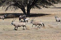 Oryx skirmishing in the Kgalagadi Royalty Free Stock Photo