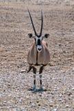 Oryx solitário no deserto no parque nacional de Etosha, Namíbia fotos de stock royalty free