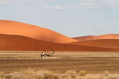 Oryx in the Sossusvlei desert, Namibia. A Oryx in the red dunes of Sossusvlei desert, Namibia Stock Photography