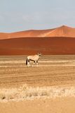 Oryx in the Sossusvlei desert, Namibia Royalty Free Stock Images