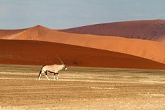 Oryx in the Sossusvlei desert, Namibia Stock Photos