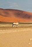 Oryx in the Sossusvlei desert, Namibia Stock Photo