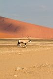 Oryx in the Sossusvlei desert, Namibia Stock Images