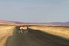 Oryx in the Sossusvlei desert, Namibia. A Oryx in the red dunes of Sossusvlei desert, Namibia Royalty Free Stock Image