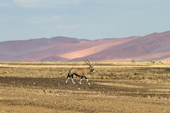Oryx in the Sossusvlei desert, Namibia Stock Image