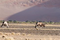 Oryx in the Sossusvlei desert, Namibia Stock Photography