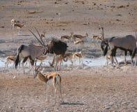Oryx, Springbock und Strauß, die Wasser teilen lizenzfreies stockfoto