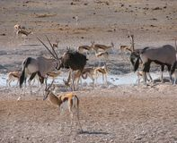 Oryx, springbok and ostrich sharing water Royalty Free Stock Photo