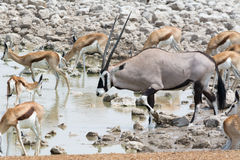 Oryx and springboks. Oryx and a herd of springboks at waterhole, namibia Royalty Free Stock Photography