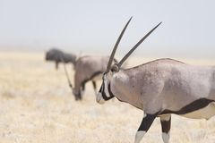 Oryx standing in the african savannah, the majestic Etosha National Park, best travel destination in Namibia, Africa. Royalty Free Stock Images