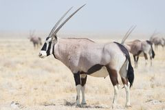 Oryx standing in the african savannah, the majestic Etosha National Park, best travel destination in Namibia, Africa. Royalty Free Stock Image