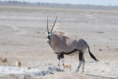 Oryx standing in the african savannah, the majestic Etosha National Park, best travel destination in Namibia, Africa. Oryx standing in the african savannah, the Stock Image