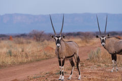 Oryx Standing against Waterberg Plateau. African Oryx (Oryx gazella) standing near dirt farm road in front of Waterberg Plateau in background, Namibia stock photos