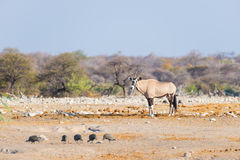 Oryx standing in the colorful landscape of the majestic Etosha National Park, best travel destination in Namibia, Africa. Oryx standing in the colorful Stock Image