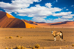 Oryx standing at the road. Travel to Namibia, South Africa. Sunset in most ancient in the world Namib Desert. Oryx standing at the road. The concept of extreme stock photo