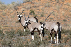 Oryx su una duna rossa Immagine Stock
