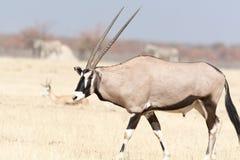 Oryx sur le chemin au point d'eau Images libres de droits