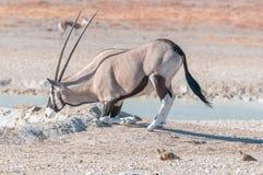 Oryx, także nazwany gemsbok, klęczy pić wodę Zdjęcia Stock