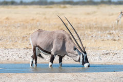 Oryx, także nazwany gemsbok, woda pitna przy waterhole Fotografia Stock