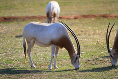 Oryx. Three Scimitar-horned Oryx eating Royalty Free Stock Images