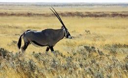 Oryx - visión lateral Fotografía de archivo