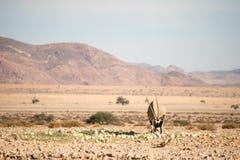Oryx w Namib pustyni Zdjęcie Stock