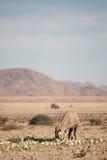 Oryx W Namib pustyni łasowania pustyni melonach Obraz Royalty Free
