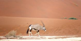 Oryx w pustyni Zdjęcia Stock