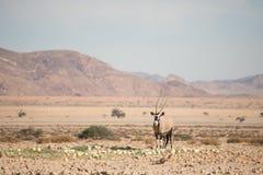 Oryx w pustynia krajobrazie Obrazy Stock