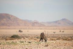 Oryx w pustynia krajobrazie Zdjęcie Stock