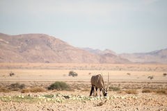 Oryx w Pustynnych łasowanie melonach Obrazy Royalty Free