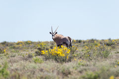Oryx walking in the bush. Wildlife Safari in the Karoo National Park, travel destination in South Africa. Stock Photos