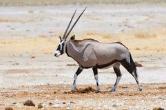 Oryx walking in the savannah. Long-horned Oryx walking in savanna under a burning sun Royalty Free Stock Image
