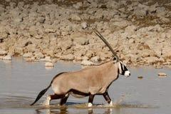 Oryx am waterhole Stockfoto