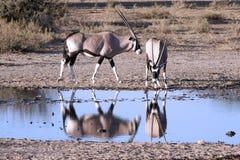Oryx at a waterhole Stock Photography