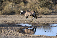 Oryx at a waterhole Royalty Free Stock Images