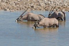 Oryx in waterhole Royalty Free Stock Photo