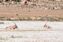 Oryx in white flowers Royalty Free Stock Photo