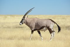 Oryx in wilderness Royalty Free Stock Photos