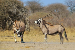 Oryx - Wildlife Background - Intimidating Horns. Two Oryx cows are about to engage in a territorial fight, as seen in the wilds of Africa Stock Photography