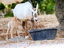 Oryx y bebé árabes en parque zoológico Fotografía de archivo libre de regalías