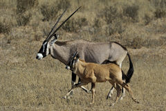 Oryx with young Royalty Free Stock Photography