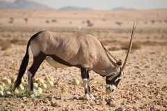 Oryx z pustynnym melonem w usta Obraz Stock