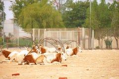 Oryx in Zoo. Herd of Oryx in a zoo in Qatar Royalty Free Stock Photo