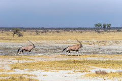 Oryx zwei oder Gemsbok, Antilopen, die in die Savanne Nationalparks Etosha laufen stockfotos
