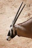 Oryxantilop är ett släkte av däggdjur och idisslare arkivfoton