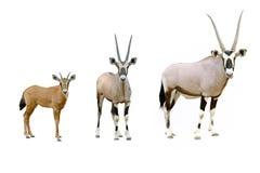 oryxantilop Arkivbild